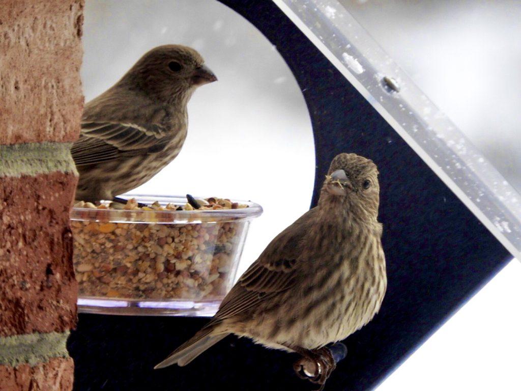 Song Sparrows