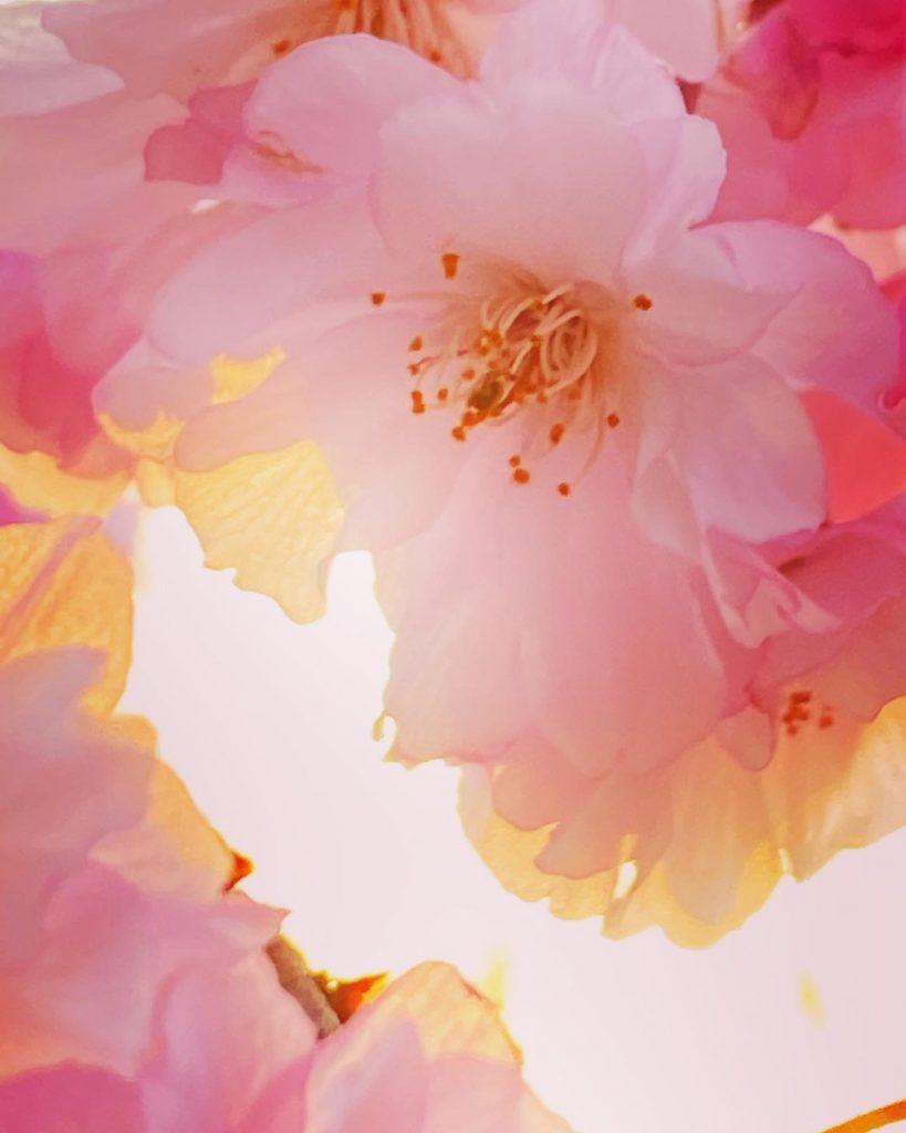 Cherry blossoms Easter sunrise