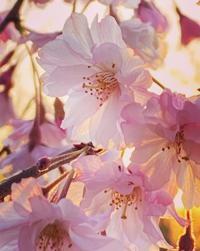 Weeping cherry blossoms