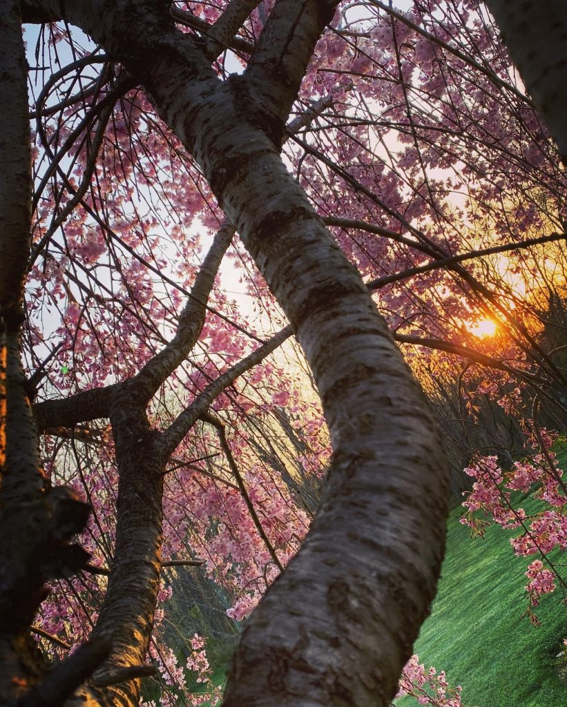 Cherry tree at sunrise