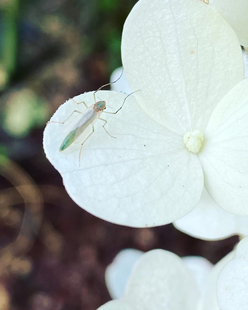 Insect on hydrangea petal